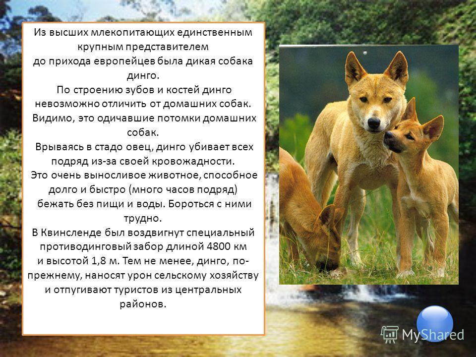 Из высших млекопитающих единственным крупным представителем до прихода европейцев была дикая собака динго. По строению зубов и костей динго невозможно отличить от домашних собак. Видимо, это одичавшие потомки домашних собак. Врываясь в стадо овец, ди