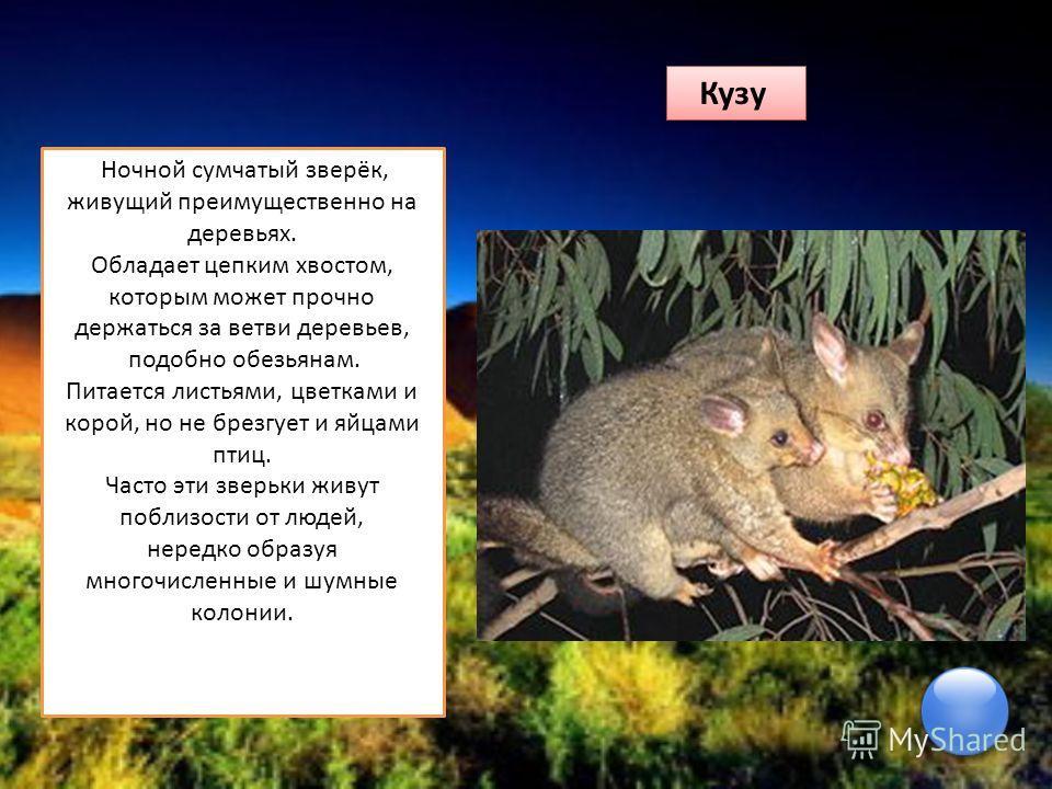 Кузу Ночной сумчатый зверёк, живущий преимущественно на деревьях. Обладает цепким хвостом, которым может прочно держаться за ветви деревьев, подобно обезьянам. Питается листьями, цветками и корой, но не брезгует и яйцами птиц. Часто эти зверьки живут