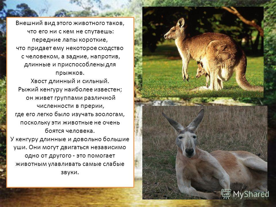 Внешний вид этого животного таков, что его ни с кем не спутаешь: передние лапы короткие, что придает ему некоторое сходство с человеком, а задние, напротив, длинные и приспособлены для прыжков. Хвост длинный и сильный. Рыжий кенгуру наиболее известен
