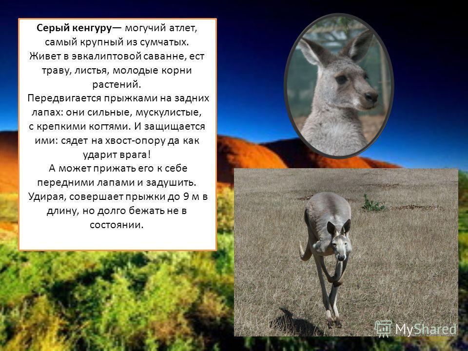 Серый кенгуру могучий атлет, самый крупный из сумчатых. Живет в эвкалиптовой саванне, ест траву, листья, молодые корни растений. Передвигается прыжками на задних лапах: они сильные, мускулистые, с крепкими когтями. И защищается ими: сядет на хвост-оп