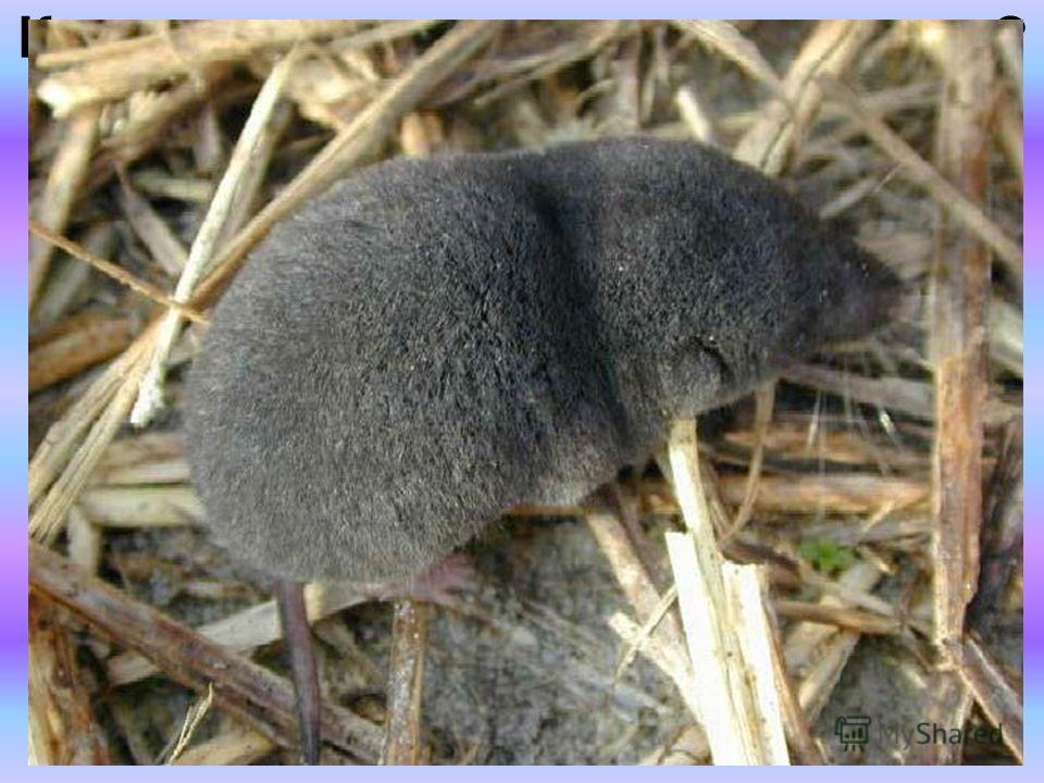 Какое животное самое маленькое? Самое маленькое животное на нашей планете это землеройка. Ее вид бурозубка-крошка весит 2 грамма, длина ее составляет 3-4 сантиметра. Среди землероек есть и крупные особи, поэтому не все землеройки являются самыми мале