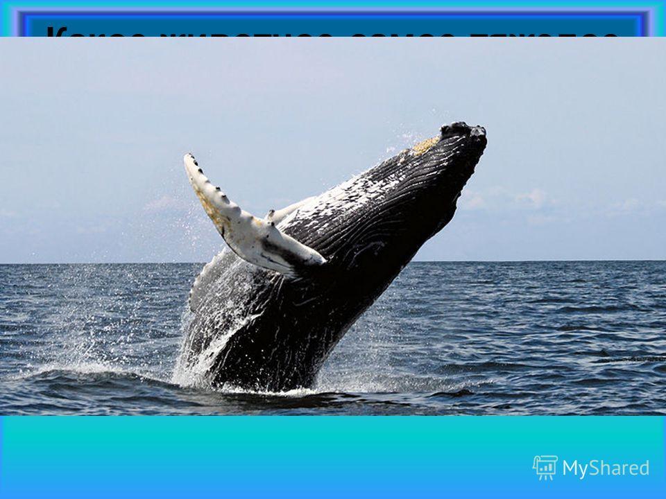 Какое животное самое тяжелое в мире? Самое тяжелое в мире животное это синий кит. Его масса может составлять 200 тонн. Длина кита может достигать 33,5 метров. Это животное может передвигаться исключительно по воде. Когда-то кит был обычным сухопутным