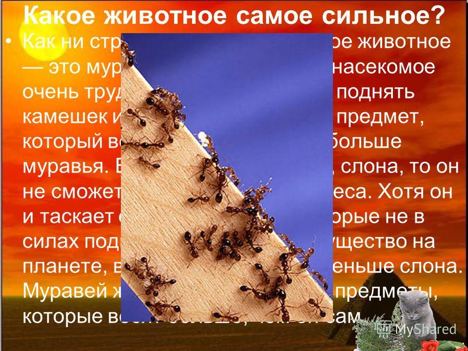 Какое животное самое сильное? Как ни странно, но самое сильное животное это муравей. Это маленькое насекомое очень трудолюбиво. Оно может поднять камешек или какой-либо другой предмет, который весит в пятьдесят раз больше муравья. Если взять, к приме