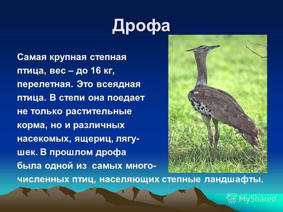 Дрофа Самая крупная степная птица, вес – до 16 кг, перелетная. Это всеядная птица. В степи она поедает не только растительные корма, но и различных насекомых, ящериц, лягу- шек. В прошлом дрофа была одной из самых много- численных птиц, населяющих ст