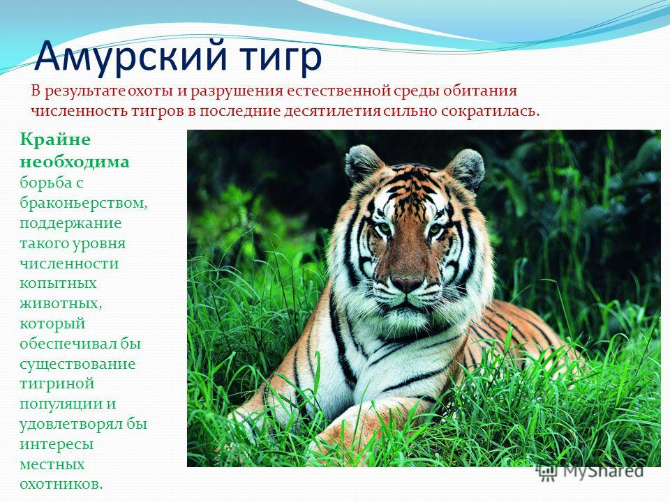 Амурский тигр В результате охоты и разрушения естественной среды обитания численность тигров в последние десятилетия сильно сократилась. Крайне необходима борьба с браконьерством, поддержание такого уровня численности копытных животных, который обесп