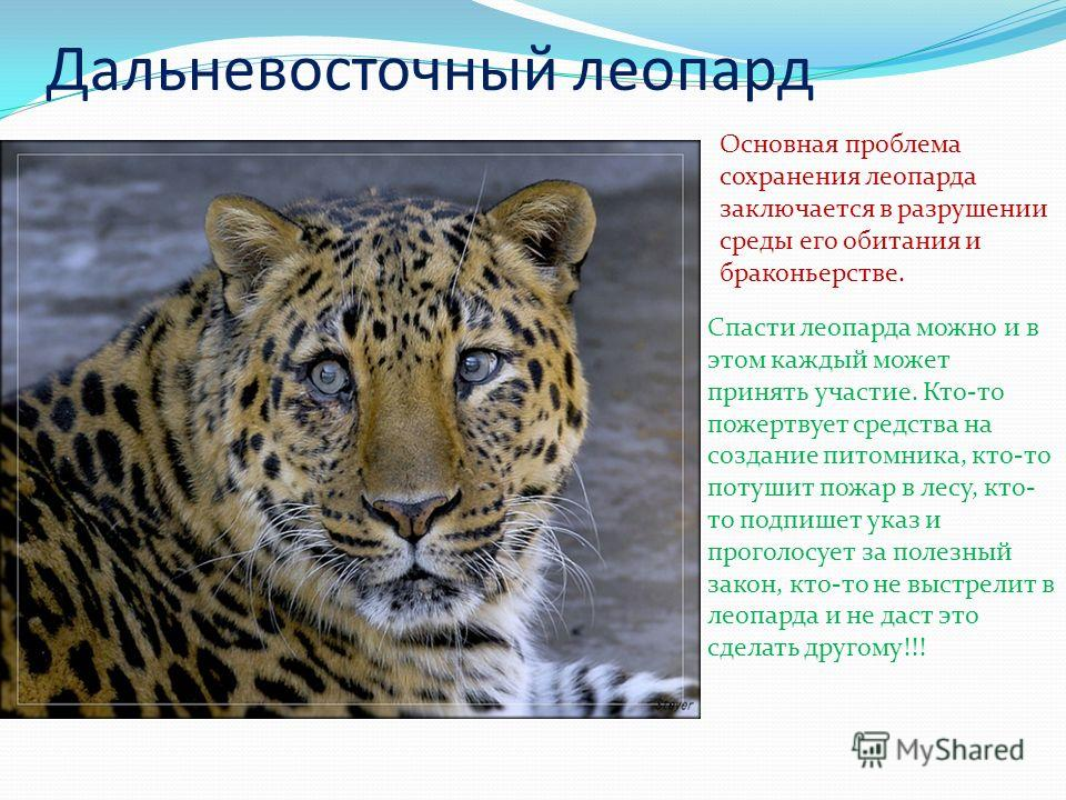 Дальневосточный леопард Основная проблема сохранения леопарда заключается в разрушении среды его обитания и браконьерстве. Спасти леопарда можно и в этом каждый может принять участие. Кто-то пожертвует средства на создание питомника, кто-то потушит п