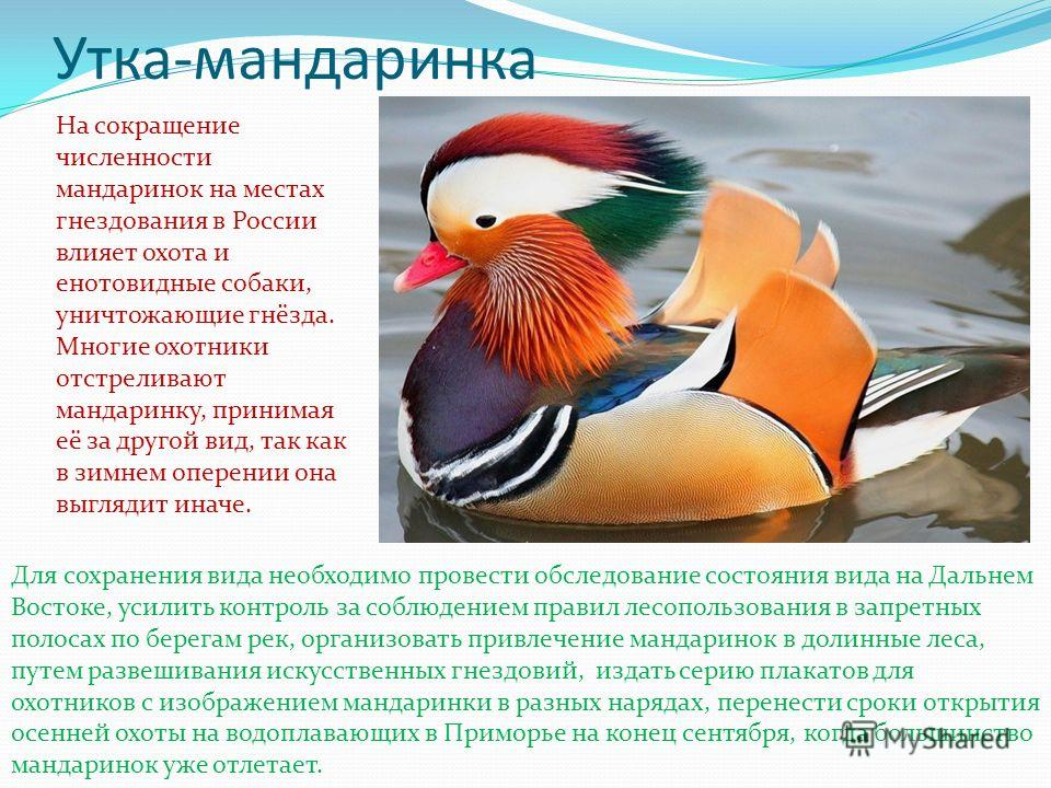 Утка-мандаринка На сокращение численности мандаринок на местах гнездования в России влияет охота и енотовидные собаки, уничтожающие гнёзда. Многие охотники отстреливают мандаринку, принимая её за другой вид, так как в зимнем оперении она выглядит ина