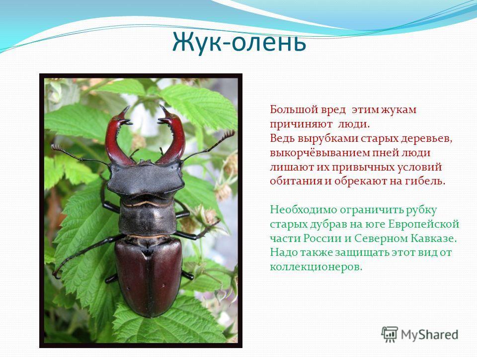 Жук-олень Большой вред этим жукам причиняют люди. Ведь вырубками старых деревьев, выкорчёвыванием пней люди лишают их привычных условий обитания и обрекают на гибель. Необходимо ограничить рубку старых дубрав на юге Европейской части России и Северно