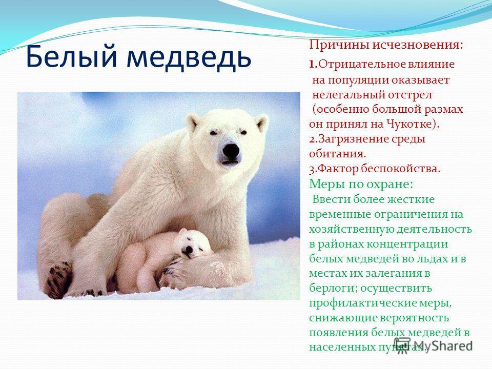 Белый медведь Причины исчезновения: 1. Отрицательное влияние на популяции оказывает нелегальный отстрел (особенно большой размах он принял на Чукотке). 2.Загрязнение среды обитания. 3.Фактор беспокойства. Меры по охране: Ввести более жесткие временны
