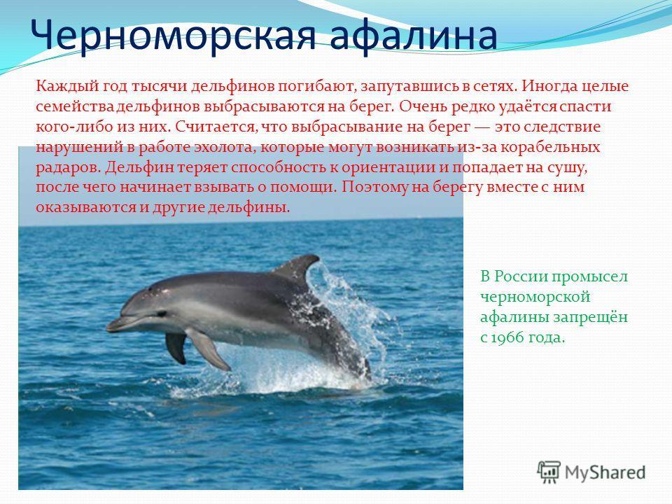 Черноморская афалина Каждый год тысячи дельфинов погибают, запутавшись в сетях. Иногда целые семейства дельфинов выбрасываются на берег. Очень редко удаётся спасти кого-либо из них. Считается, что выбрасывание на берег это следствие нарушений в работ