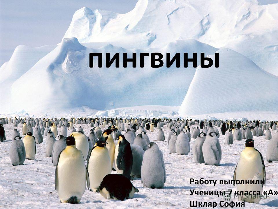 пингвины Работу выполнили Ученицы 7 класса «А» Шкляр София