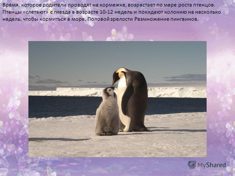 Время, которое родители проводят на кормежке, возрастает по мере роста птенцов. Птенцы «слетают» с гнезда в возрасте 10-12 недель и покидают колонию на несколько недель, чтобы кормиться в море. Половой зрелости Размножение пингвинов.