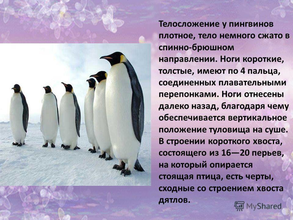 Телосложение у пингвинов плотное, тело немного сжато в спинно-брюшном направлении. Ноги короткие, толстые, имеют по 4 пальца, соединенных плавательными перепонками. Ноги отнесены далеко назад, благодаря чему обеспечивается вертикальное положение туло