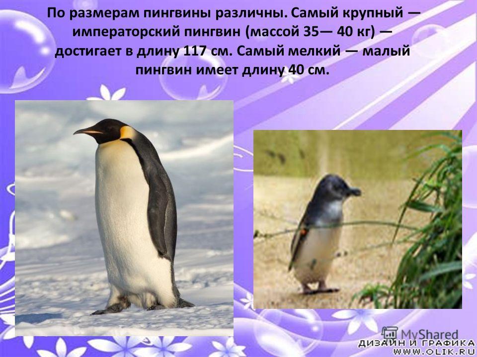По размерам пингвины различны. Самый крупный императорский пингвин (массой 35 40 кг) достигает в длину 117 см. Самый мелкий малый пингвин имеет длину 40 см.