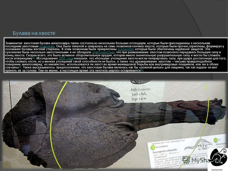 Булава на хвосте Знаменитая хвостовая булава анкилозавра также состояла из нескольких больших остеодерм, которые были присоединены к нескольким последним хвостовым позвонкам. Она была тяжелой и опиралась на семь позвонков кончика хвоста, которые были