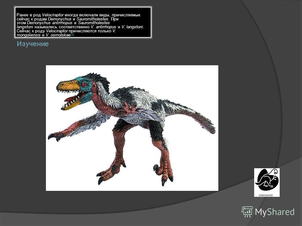 Изучение Ранее в род Velociraptor иногда включали виды, причисляемые сейчас к родам Deinonychus и Saurornitholestes. При этом Deinonychus antirrhopus и Saurornitholestes langstoni назывались соответственно V. antirrhopus и V. langstoni. Сейчас к роду