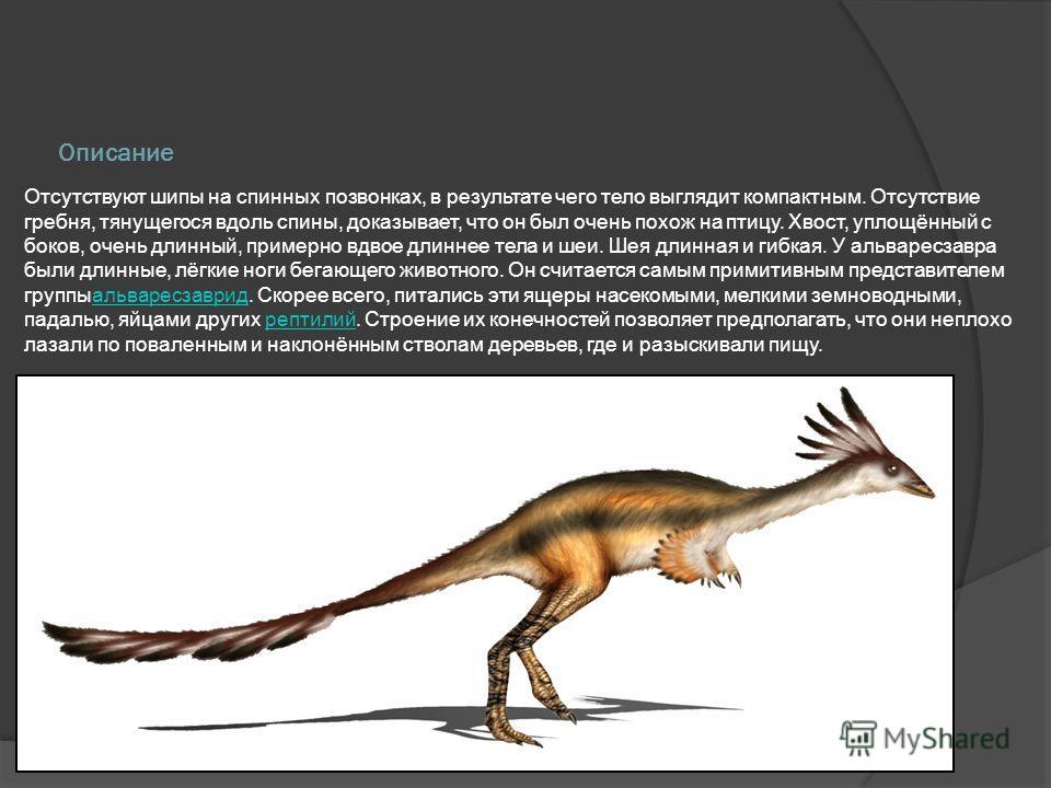 Описание Отсутствуют шипы на спинных позвонках, в результате чего тело выглядит компактным. Отсутствие гребня, тянущегося вдоль спины, доказывает, что он был очень похож на птицу. Хвост, уплощённый с боков, очень длинный, примерно вдвое длиннее тела