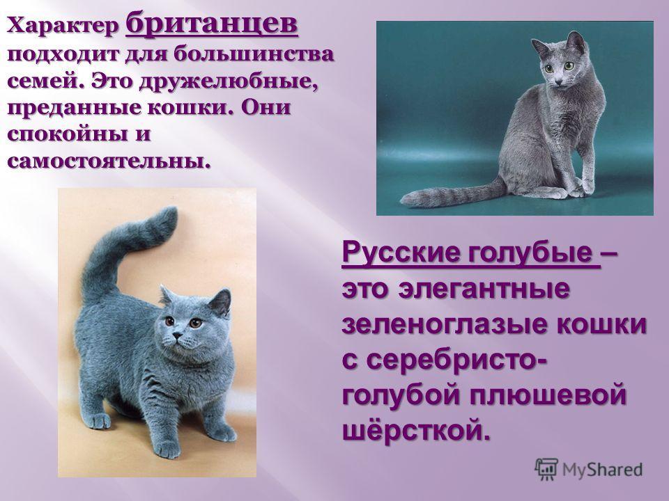 Русские голубые – это элегантные зеленоглазые кошки с серебристо- голубой плюшевой шёрсткой. Характер британцев подходит для большинства семей. Это дружелюбные, преданные кошки. Они спокойны и самостоятельны.