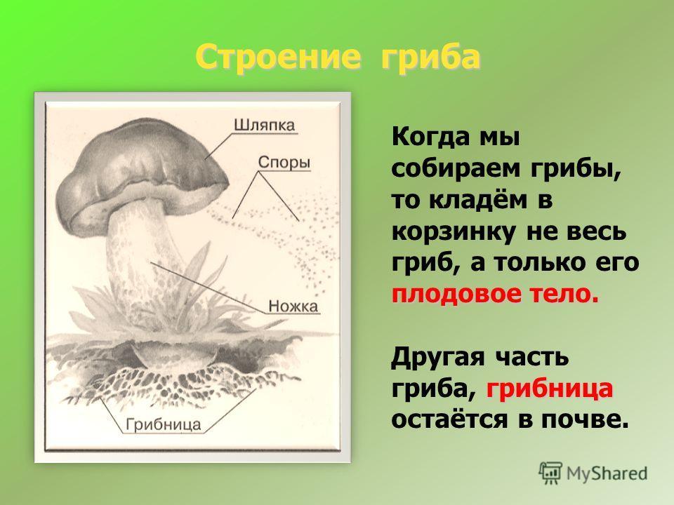 Строение гриба Строение гриба плодовое тело. Когда мы собираем грибы, то кладём в корзинку не весь гриб, а только его плодовое тело. грибница Другая часть гриба, грибница остаётся в почве.
