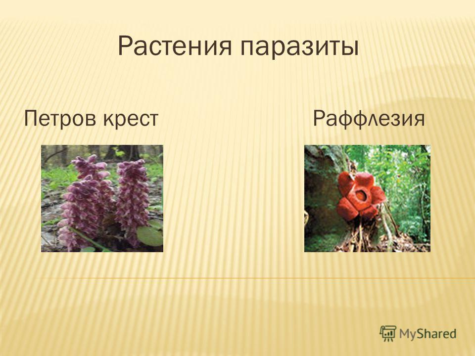 Растения паразиты Петров крест Раффлезия