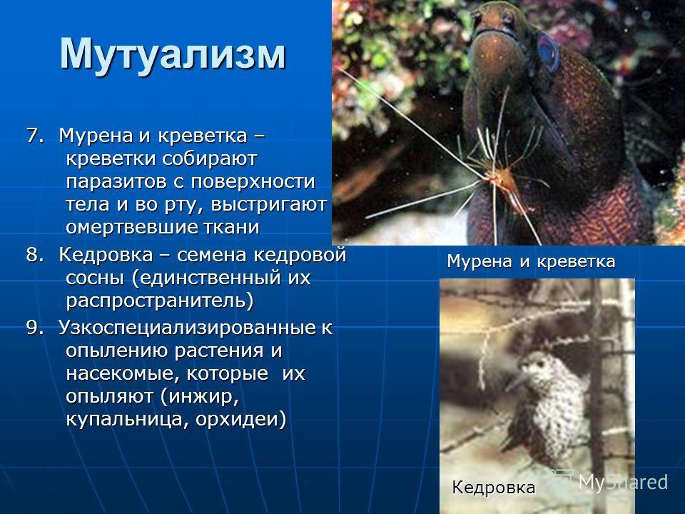 Мутуализм 7. Мурена и креветка – креветки собирают паразитов с поверхности тела и во рту, выстригают омертвевшие ткани 8. Кедровка – семена кедровой сосны (единственный их распространитель) 9. Узкоспециализированные к опылению растения и насекомые, к