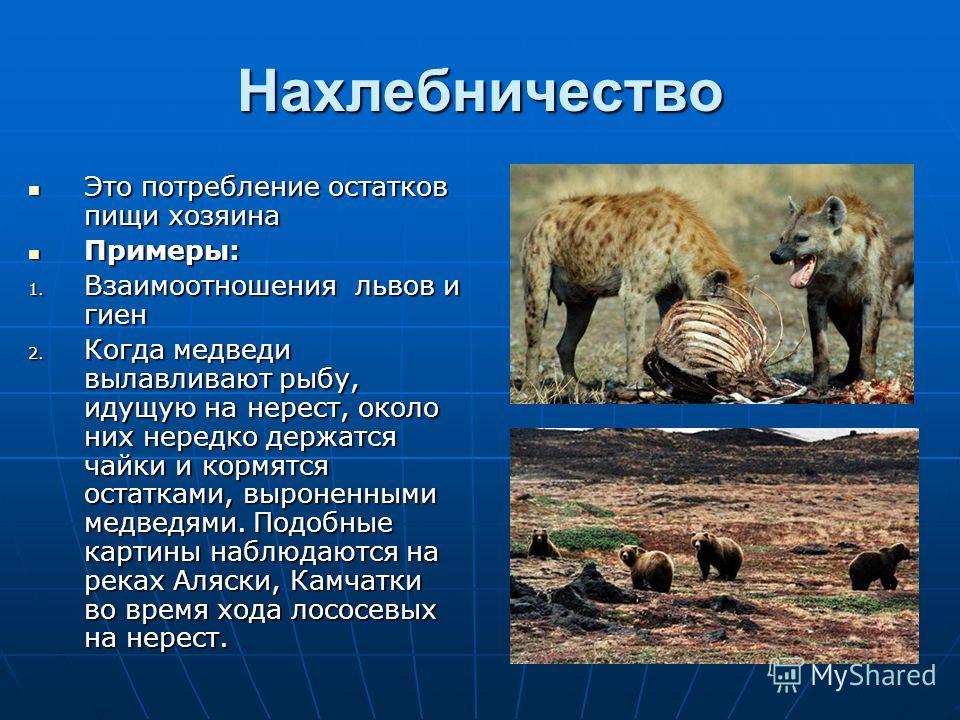 Нахлебничество Это потребление остатков пищи хозяина Это потребление остатков пищи хозяина Примеры: Примеры: 1. Взаимоотношения львов и гиен 2. Когда медведи вылавливают рыбу, идущую на нерест, около них нередко держатся чайки и кормятся остатками, в