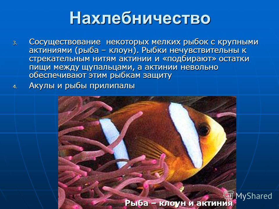 Нахлебничество 3. Сосуществование некоторых мелких рыбок с крупными актиниями (рыба – клоун). Рыбки нечувствительны к стрекательным нитям актинии и «подбирают» остатки пищи между щупальцами, а актинии невольно обеспечивают этим рыбкам защиту 4. Акулы