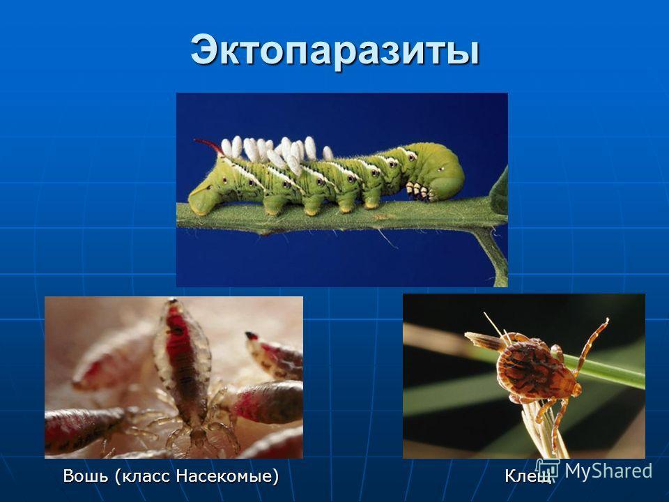 Эктопаразиты Вошь (класс Насекомые) Клещ