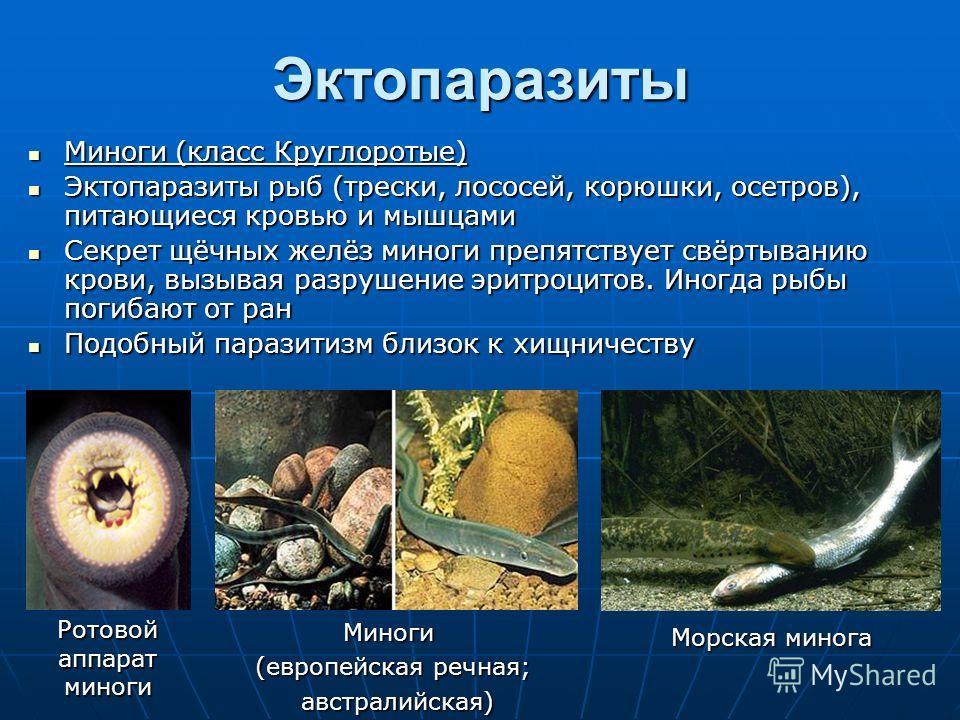 Эктопаразиты Миноги (класс Круглоротые) Миноги (класс Круглоротые) Эктопаразиты рыб (трески, лососей, корюшки, осетров), питающиеся кровью и мышцами Эктопаразиты рыб (трески, лососей, корюшки, осетров), питающиеся кровью и мышцами Секрет щёчных желёз