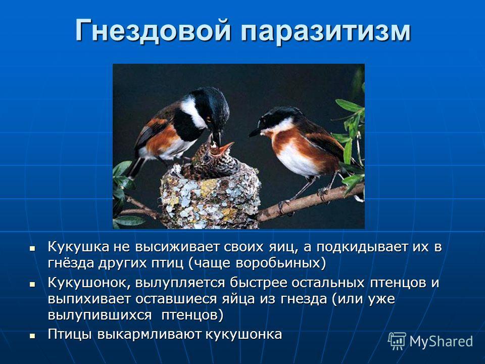 Гнездовой паразитизм Кукушка не высиживает своих яиц, а подкидывает их в гнёзда других птиц (чаще воробьиных) Кукушка не высиживает своих яиц, а подкидывает их в гнёзда других птиц (чаще воробьиных) Кукушонок, вылупляется быстрее остальных птенцов и