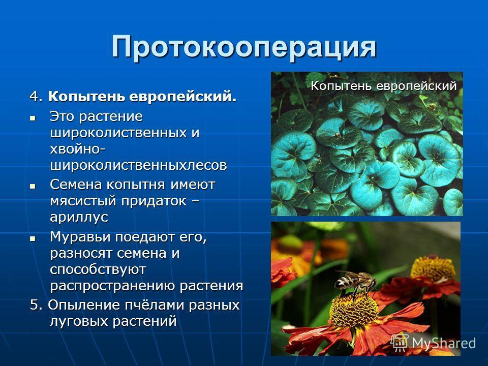 Протокооперация 4. Копытень европейский. Это растение широколиственных и хвойно- широколиственныхлесов Это растение широколиственных и хвойно- широколиственныхлесов Семена копытня имеют мясистый придаток – ариллус Семена копытня имеют мясистый придат