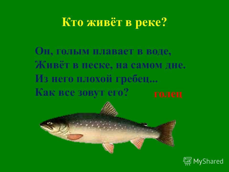Кто живёт в реке? Он, голым плавает в воде, Живёт в песке, на самом дне. Из него плохой гребец... Как все зовут его? голец