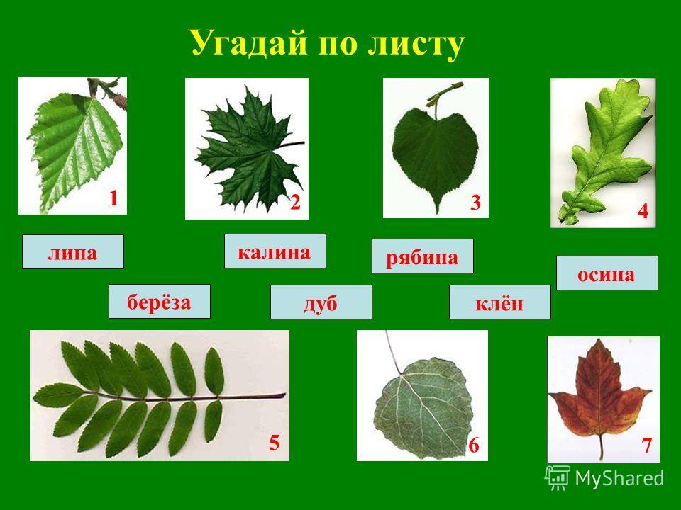 Угадай по листу рябина калина клёндуб осина липа берёза 1 2 3 4 5 6 7