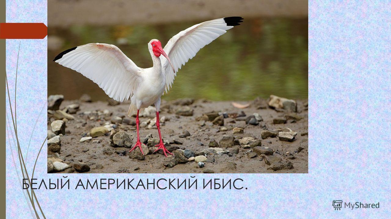 БЕЛЫЙ АМЕРИКАНСКИЙ ИБИС.