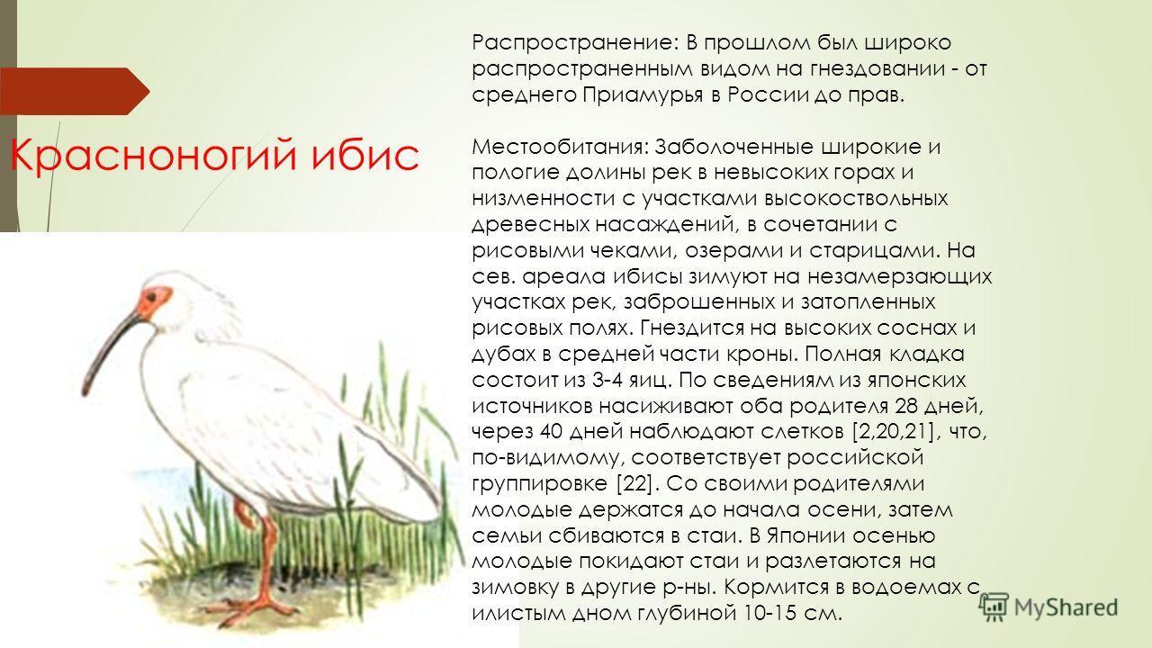 Красноногий ибис Распространение: В прошлом был широко распространенным видом на гнездовании - от среднего Приамурья в России до прав. Местообитания: Заболоченные широкие и пологие долины рек в невысоких горах и низменности с участками высокоствольны