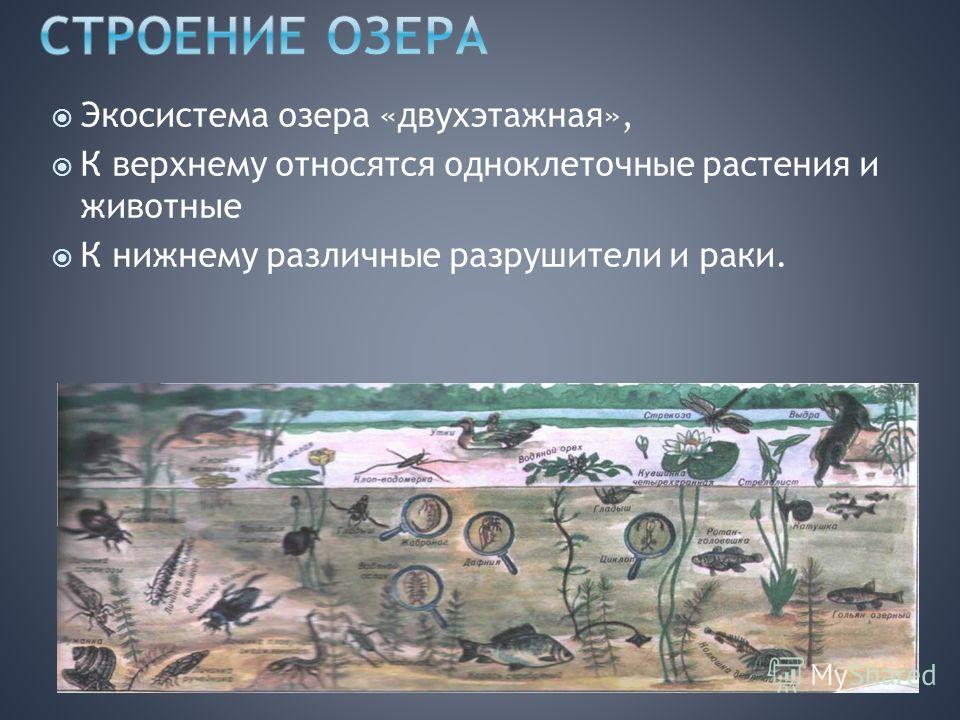 Экосистема озера «двухэтажная», К верхнему относятся одноклеточные растения и животные К нижнему различные разрушители и раки.