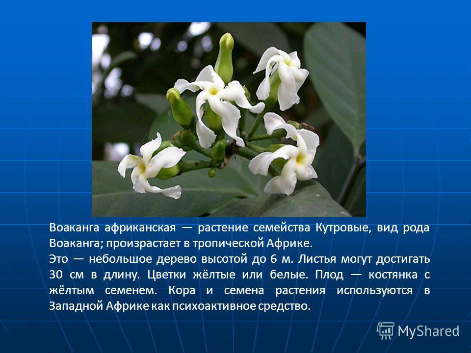 Воаканга африканская растение семейства Кутровые, вид рода Воаканга; произрастает в тропической Африке. Это небольшое дерево высотой до 6 м. Листья могут достигать 30 см в длину. Цветки жёлтые или белые. Плод костянка с жёлтым семенем. Кора и семена