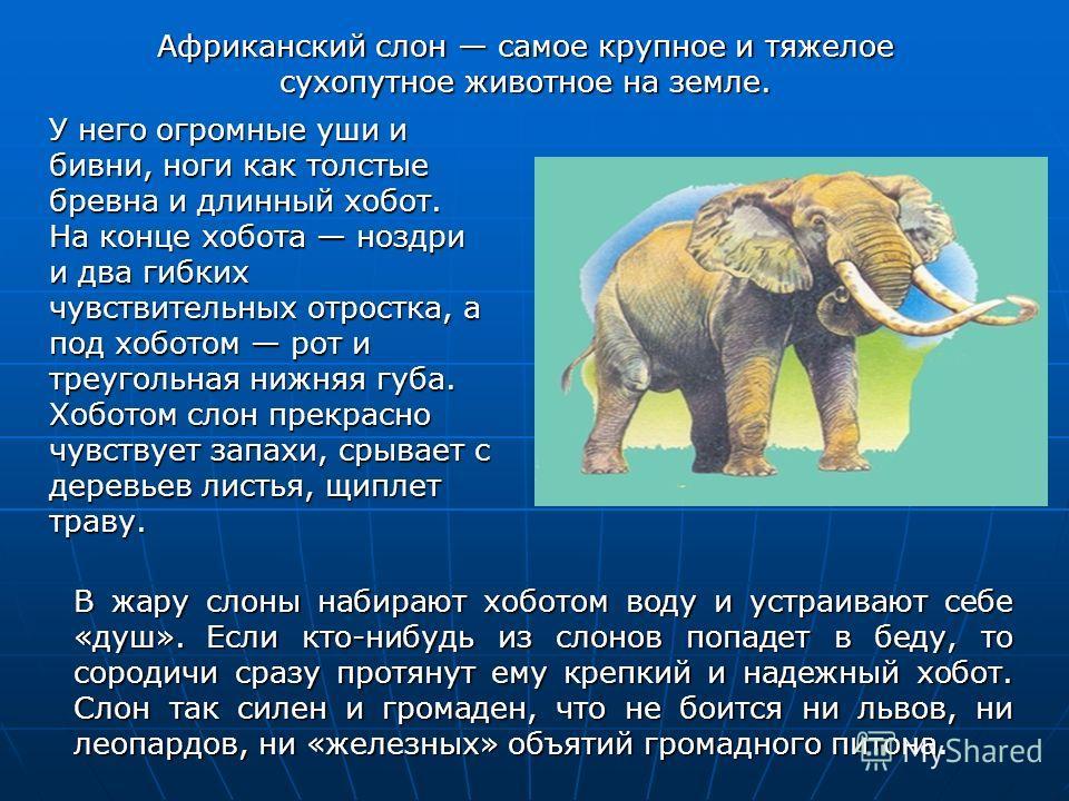 В жару слоны набирают хоботом воду и устраивают себе «душ». Если кто-нибудь из слонов попадет в беду, то сородичи сразу протянут ему крепкий и надежный хобот. Слон так силен и громаден, что не боится ни львов, ни леопардов, ни «железных» объятий гром
