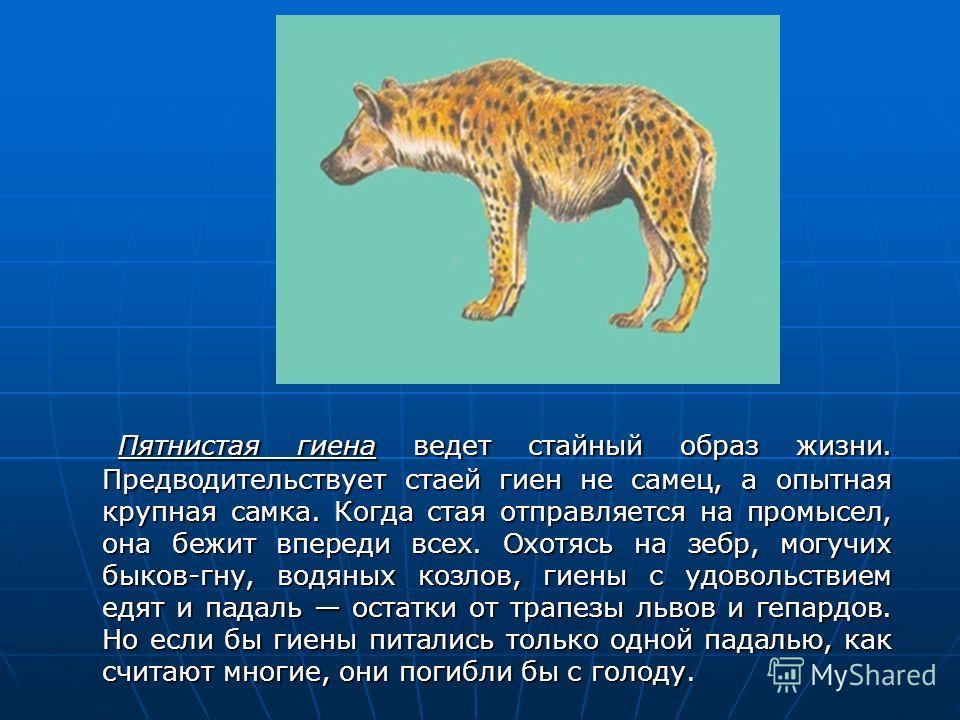 Пятнистая гиена ведет стайный образ жизни. Предводительствует стаей гиен не самец, а опытная крупная самка. Когда стая отправляется на промысел, она бежит впереди всех. Охотясь на зебр, могучих быков-гну, водяных козлов, гиены с удовольствием едят и