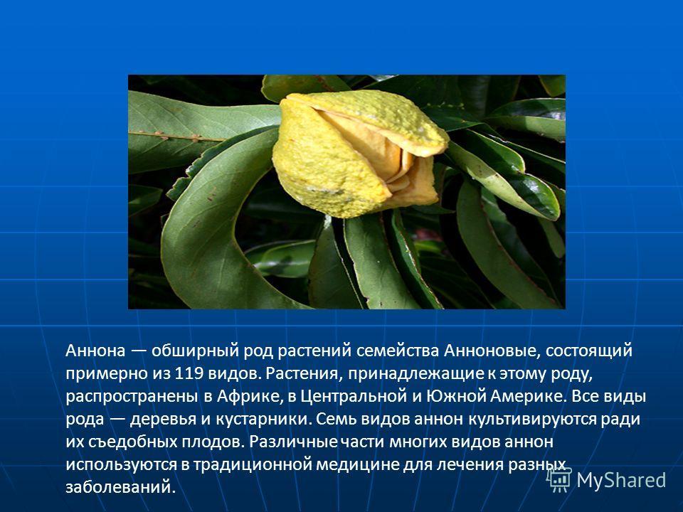 Аннона обширный род растений семейства Анноновые, состоящий примерно из 119 видов. Растения, принадлежащие к этому роду, распространены в Африке, в Центральной и Южной Америке. Все виды рода деревья и кустарники. Семь видов аннон культивируются ради