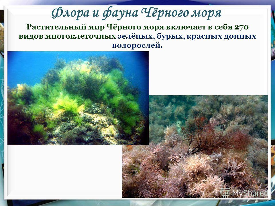Флора и фауна Чёрного моря 17 Растительный мир Чёрного моря включает в себя 270 видов многоклеточных зелёных, бурых, красных донных водорослей.