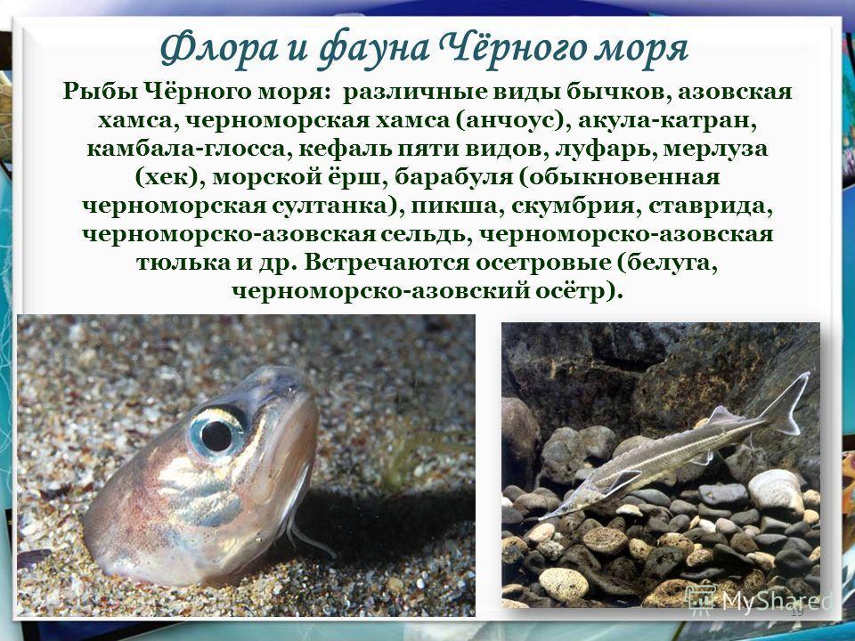Флора и фауна Чёрного моря 19 Рыбы Чёрного моря: различные виды бычков, азовская хамса, черноморская хамса (анчоус), акула-катран, камбала-глосса, кефаль пяти видов, луфарь, мерлуза (хек), морской ёрш, барабуля (обыкновенная черноморская султанка), п