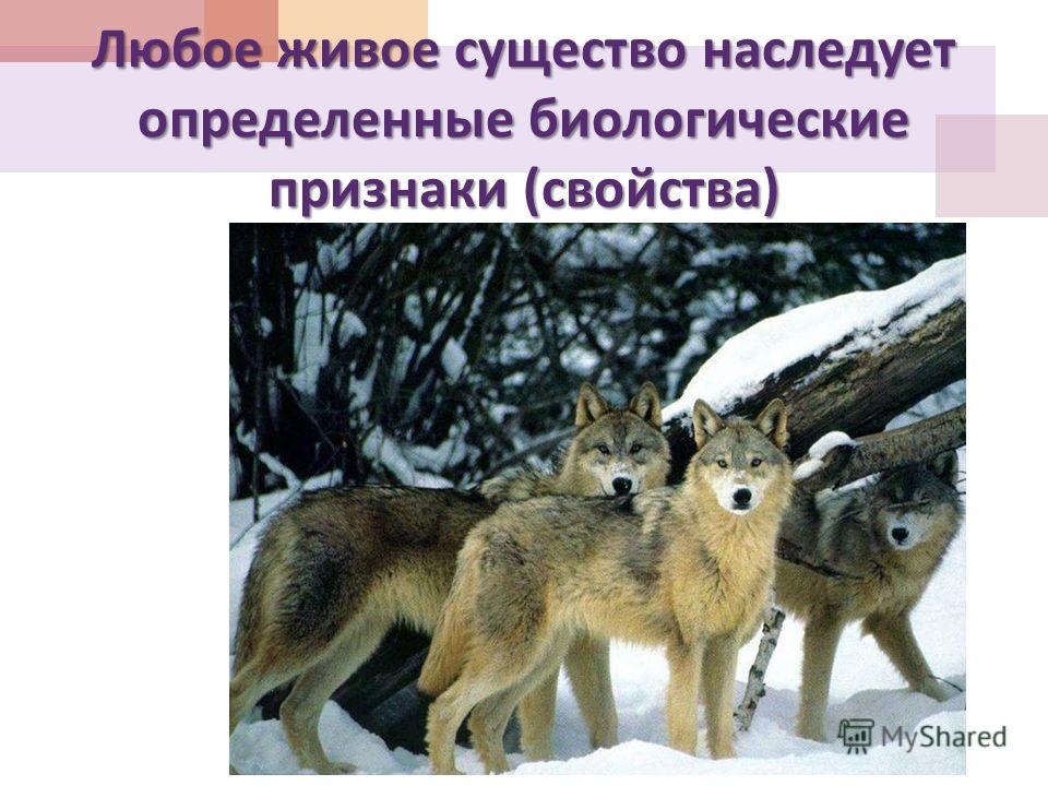 Любое живое существо наследует определенные биологические признаки ( свойства )