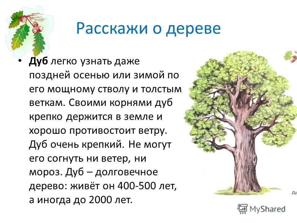 Расскажи о дереве Дуб легко узнать даже поздней осенью или зимой по его мощному стволу и толстым веткам. Своими корнями дуб крепко держится в земле и хорошо противостоит ветру. Дуб очень крепкий. Не могут его согнуть ни ветер, ни мороз. Дуб – долгове