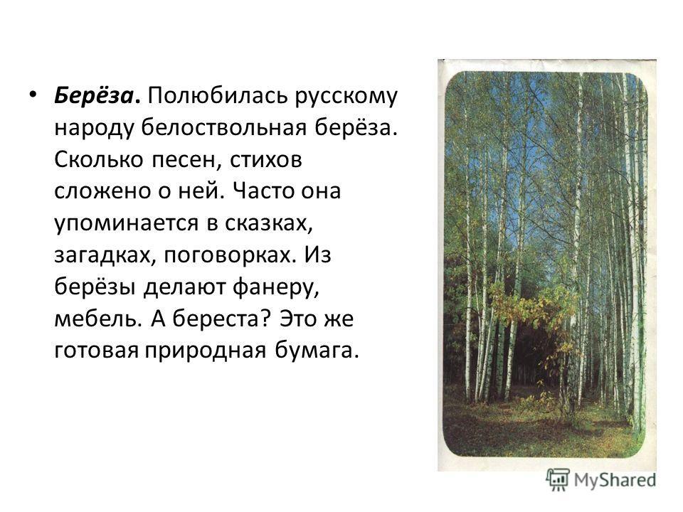 Берёза. Полюбилась русскому народу белоствольная берёза. Сколько песен, стихов сложено о ней. Часто она упоминается в сказках, загадках, поговорках. Из берёзы делают фанеру, мебель. А береста? Это же готовая природная бумага.