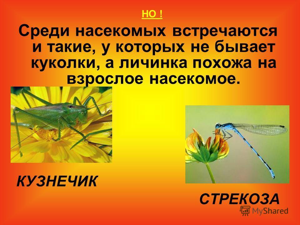 НО ! Среди насекомых встречаются и такие, у которых не бывает куколки, а личинка похожа на взрослое насекомое. КУЗНЕЧИК СТРЕКОЗА