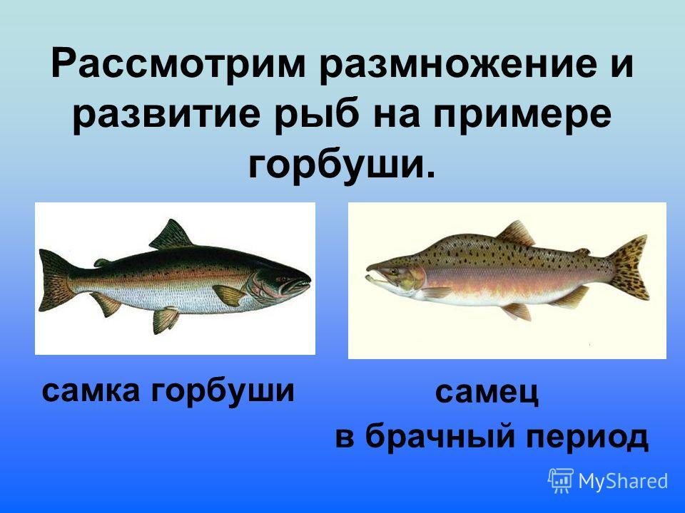 Рассмотрим размножение и развитие рыб на примере горбуши. самка горбуши самец в брачный период