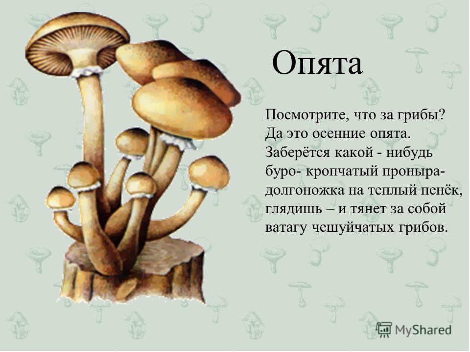 Опята Посмотрите, что за грибы? Да это осенние опята. Заберётся какой - нибудь буро- кропчатый проныра- долгоножка на теплый пенёк, глядишь – и тянет за собой ватагу чешуйчатых грибов.