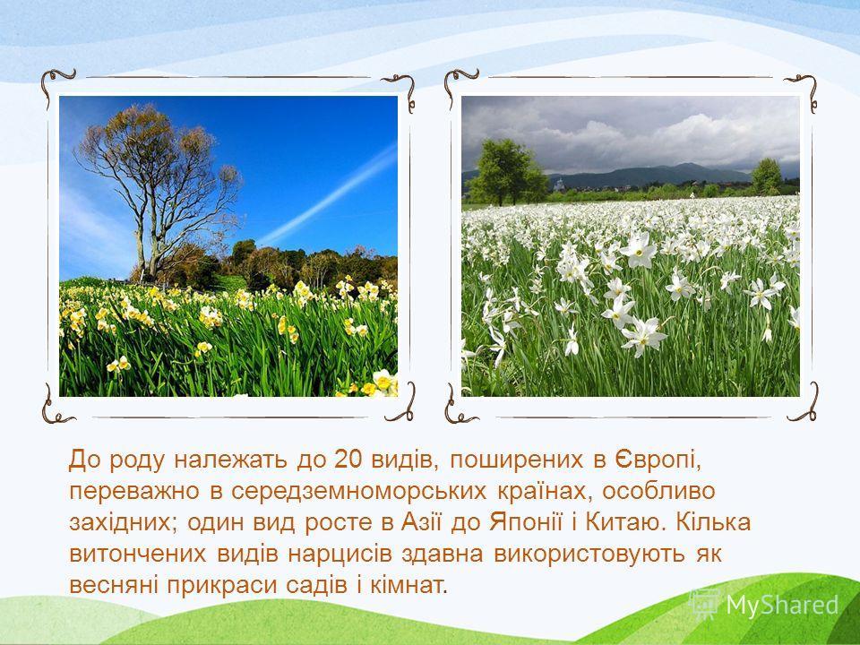 Нарцис Нарци́с (Narcissus) рід однодольних рослин з родини амаралісових. Це трави із щільними цибулинами і стрічкоподібними різної довжини листками. Квіти сидять на верхівках безлистих стебел, одягнених плівчастою поволокою, одною або кількома. Тичин
