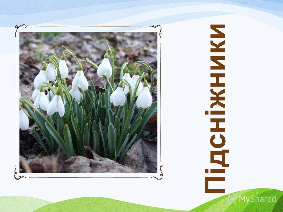 Первоцвітам не страшні ані сніг, ані злі морози – до всіляких примх природи ці ранні квіти добре пристосувались. Але є у них інший, набагато страшніший ворог, від якого важко врятуватись – це ми з вами. В Україні вже зникло майже 50 видів рослин. І ц